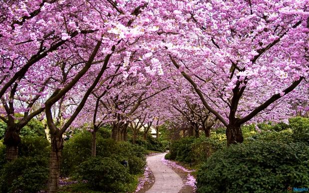 cherry_blossom_garden_1920x1200